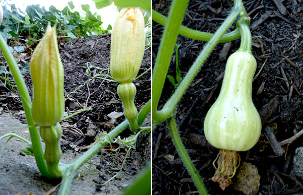 When you hand-pollinate squash that  are experiencing pollination challenges, your squash plants kick into growth gear and start producing.