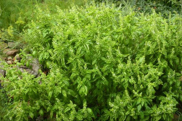 ww-basil-garden