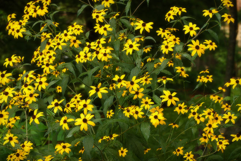 ww-black-eyed-susan