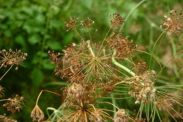 ww-dill-seed