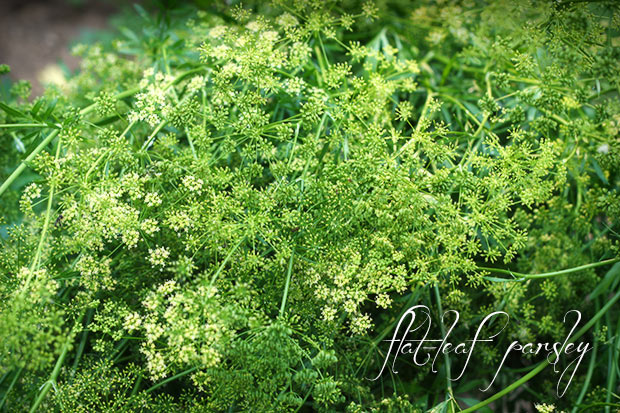 frikeh-madison-parsley-031413