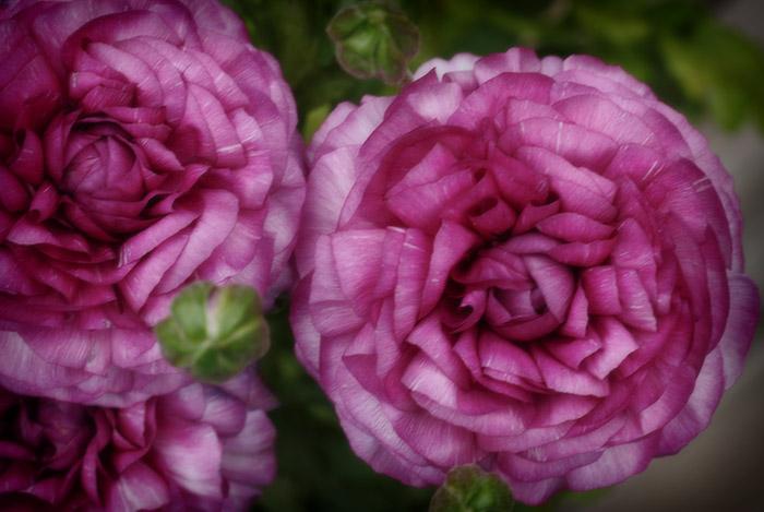spring-flowers-ranunculus-2