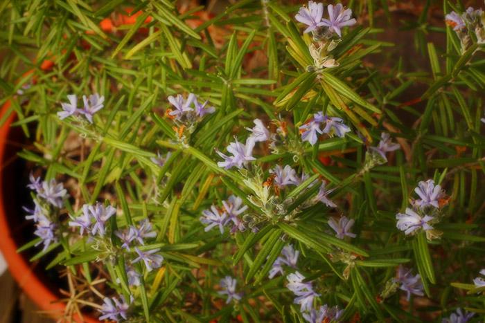 spring-flowers-rosemary