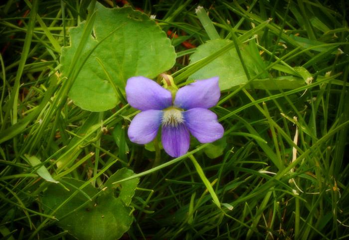 spring-flowers-wild-blue-violets