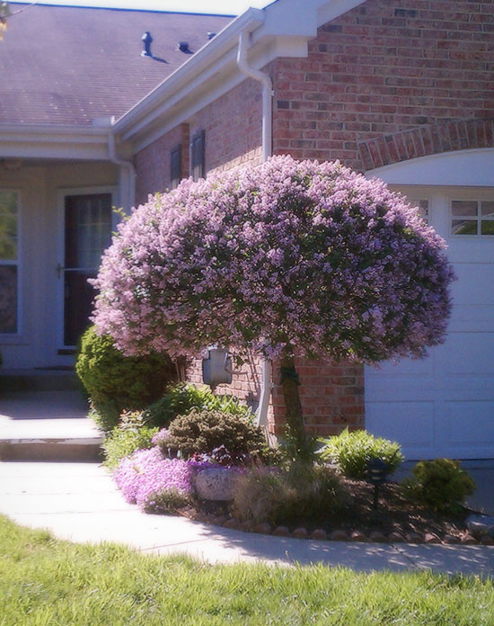 spring-flowers-lilac-tree