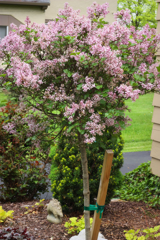spring-flowers-lilac-tree2