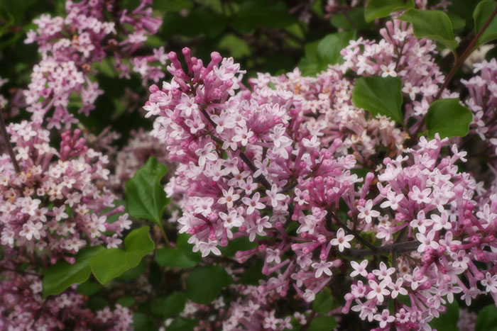 spring-flowers-lilacs
