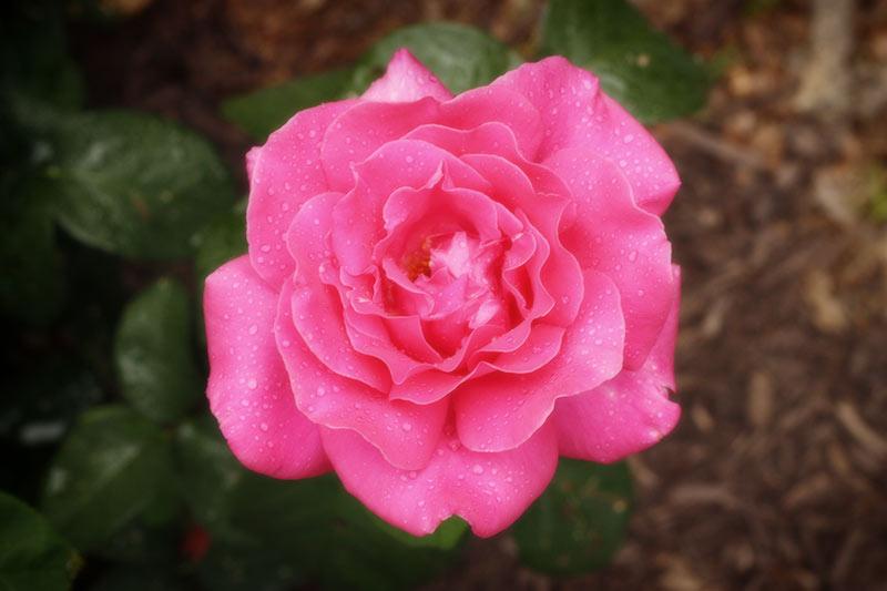 rosewater-toner-2-060913